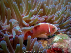 Motherly Care  This Pink Anemone fish is fining over its... by Ann Donahue