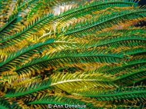 Crinoid Wave