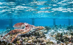 Octopus on the Reef by Henley Spiers