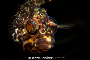 Caught in the Act! Super klipfish spies me with one eye ... by Kate Jonker