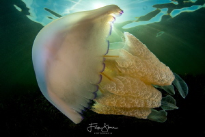 Barrel jellyfish (Rhizostoma pulmo), Zeeland, The Netherl... by Filip Staes
