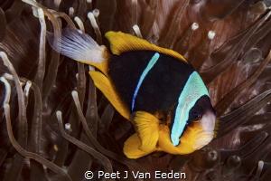 Old Time Favorite Twobar Clownfish by Peet J Van Eeden