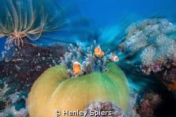 Clownfish Zoomburst by Henley Spiers