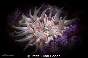 Reaching for the Stars  Violet spotted anemone. Little ... by Peet J Van Eeden