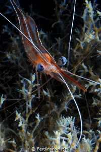 Shrimp (Plesionika narval) by Ferdinando Meli