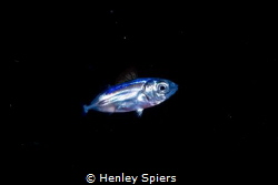 Larval Jack by Henley Spiers