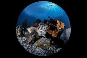 Chelonia mydas - Green Turtle  (ENDANGERED) by Wayne Jones