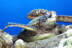 Can I help you?  Hawaiian turtle under Mala pier. by Stuart Spechler