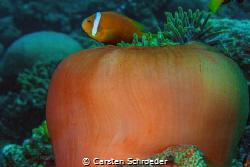 Orange Anemone by Carsten Schroeder
