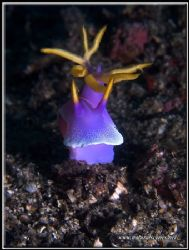 Royal Hypselodoris with is head up not a normal position ... by Yves Antoniazzo