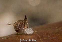 Hopper laying eggs (Siphopteron sp.) by Goni Boller