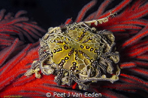 Jewel of the Ocean  Basket star on Palmate Sea Fan by Peet J Van Eeden