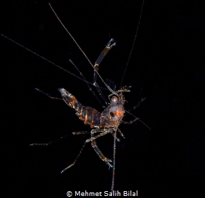 A shrimp at black water dive, Romblon. by Mehmet Salih Bilal
