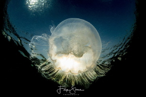 Common jellyfish (Aurelia aurita), Zeeland, The Netherlands. by Filip Staes