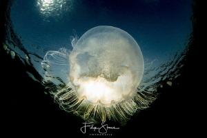 Common jellyfish (Aurelia aurita), Zeeland, The Netherlands. by Filip Staes