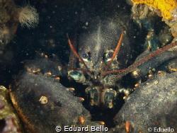 Lobster around by Eduard Bello