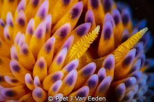 A Closer Look super macro of a Gasflame nudibranch by Peet J Van Eeden