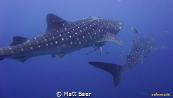 whalesharks at Sail Rock, Gulf of Thailand. Shot taken wi... by Matt Baer