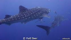 whalesharks at Sail Rock, Gulf of Thailand. Shot taken wi... by Matt Baer