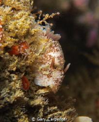 Sea Lemon (Archidoris pseudoargus) - Picture taken in Dun... by Gary Carpenter