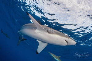 Silky Shark with sky, Gardens of the Queen by Alejandro Topete