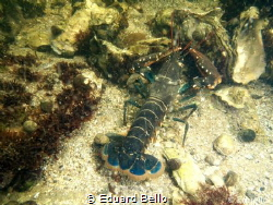 Lobster at 1m depth by Eduard Bello
