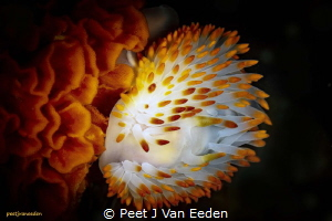 Yellow Gasflame Nudibranch by Peet J Van Eeden