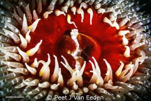 The Gatekeepers of Gullies  The sandy anemone with it... by Peet J Van Eeden