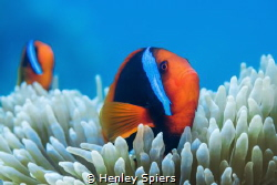 Clownfish Couple by Henley Spiers