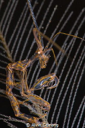 Portrait of a skeleton shrimp by Alvin Cheung
