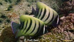 Six banded angelfish - or sixbar angelfish - photographed... by Matt Baer