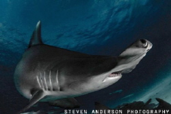 Eye to Eye ....Great Hammerhead Eye is on a pass. Beautif... by Steven Anderson