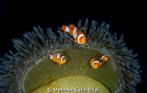Clownfish family. by Mehmet Salih Bilal