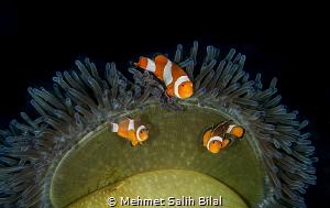Clownfish family. by Mehmet Salih Bilal