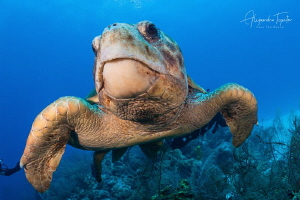 Amazing Cahuama in the Reef, Half Moon Caye Belize by Alejandro Topete