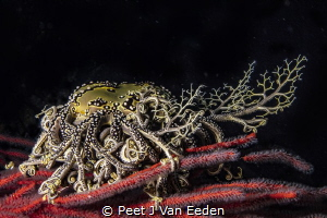 Basket Star Feeding by Peet J Van Eeden
