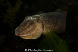 Cuttlefish coming out of the darkness in Falmouth UK, Pen... by Christopher Moakes