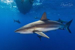 Caribean Reef Sharks, Gardens of the Queen Cuba by Alejandro Topete