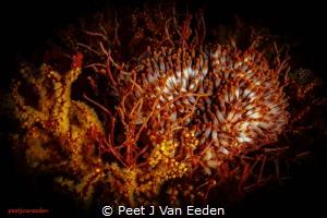 Voracious Appetite  The rare walking sea-anemone has le... by Peet J Van Eeden