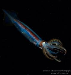 Arrow Squid on blackwater dive in West Palm Beach, Florid... by Steven Backerman