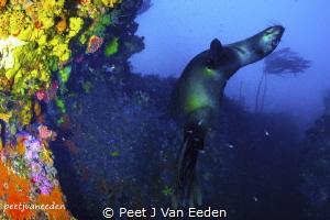 Playful Cape Seal by Peet J Van Eeden