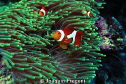 Anemona fish by Joaquin Fregoni