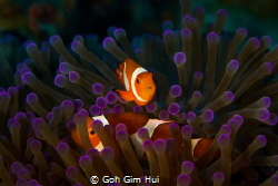 Nemo hiding in the soft corals by Goh Gim Hui