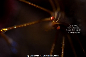 """Chiaroscuro"" - I photographed this arrow crab using one ... by Susannah H. Snowden-Smith"