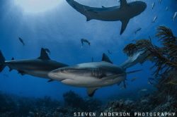 Reef Shark find the waters off the Bahamas perfect for th... by Steven Anderson