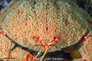 The cold blue eyes of a sumo crab. An armoured warrior of... by Peet J Van Eeden