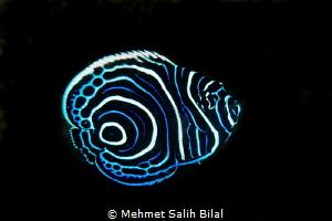 Juvenile emperor angelfish. by Mehmet Salih Bilal