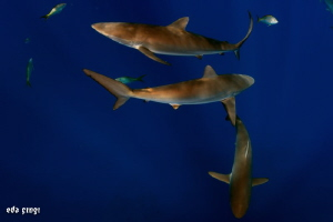 silky sharks F by Eda Çıngı