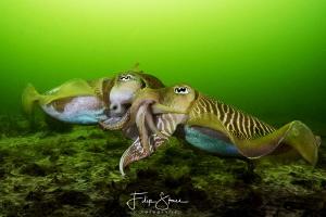 Mating cuttlefish, Zeeland, The Netherlands. by Filip Staes