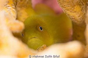 Hairy yellow goby. by Mehmet Salih Bilal